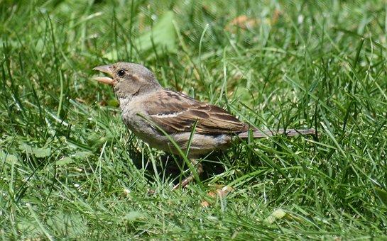 Sparrow, Brown Sparrow, Bird, Female Sparrow