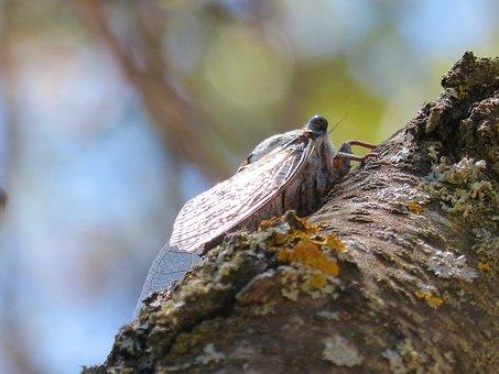 Cicada, Trunk, Summer Cri Cri