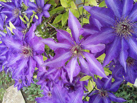 Clematis, Flowers, Climber, Flower, Light Purple, Plant