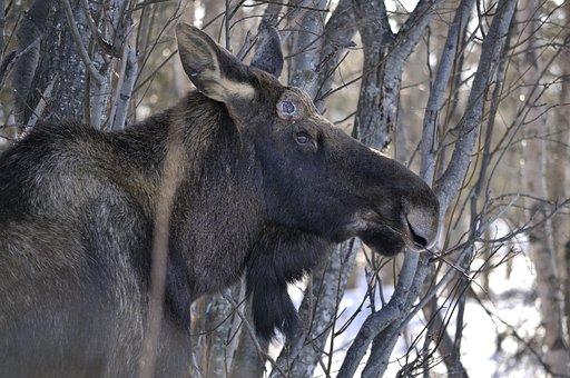 Moose, Grazing, Animal, Mammal, Nature, Wildlife, Wild