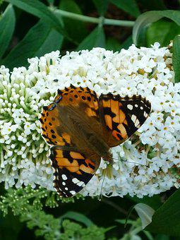 Butterfly, Fritillary, Days Butterfly, Nature