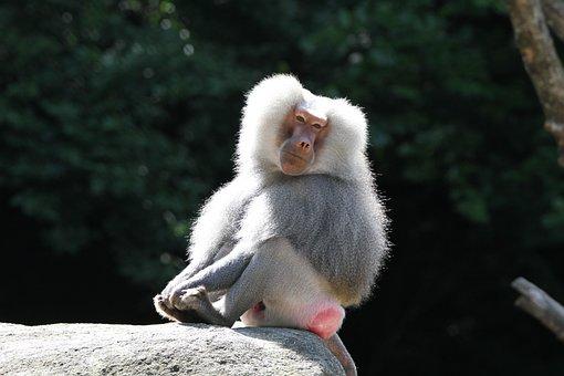 Baboon, Monkey, Zoo, Animal, Tiergarten, Nature
