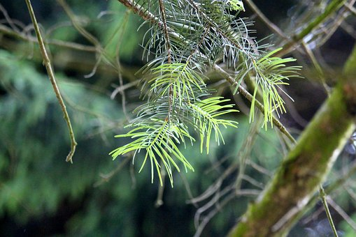 Needles, Coniferous Tree, Branch, Conifer, Tree, Nature
