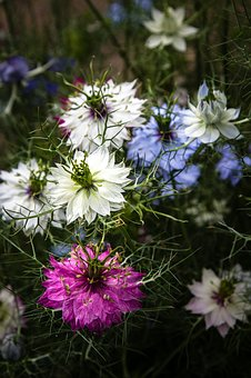 Flowers, Nigella, Love-in-a-mist, Botany, Petal