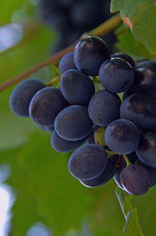 Grape, Red Grapes, Fruit, Nature, Blue, Ripe Fruit