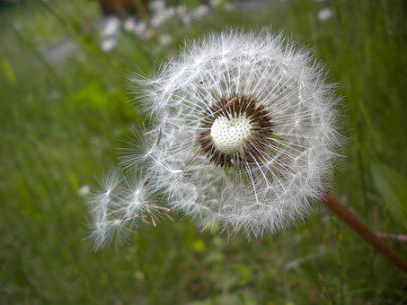 Dandelion, Seeds, Common Dandelion, Nature, Spring