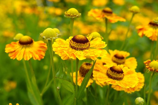 Sneezeweed, Yellow, Flower, Blooming, Summer, Sunny