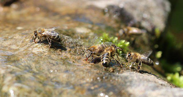 Bees, Fight, Drink, Nature, Macro, Water