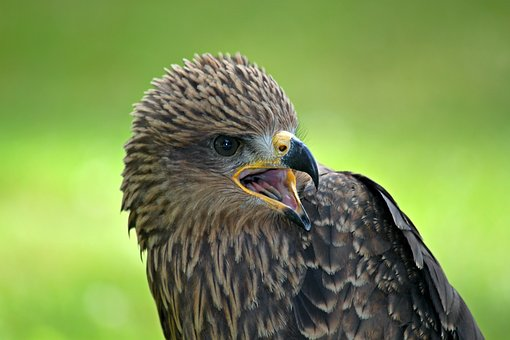 Buzzard, Raptor, Bird, Bird Of Prey, Bird Portrait