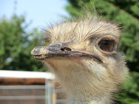 Ostrich, Ostrich Farm, Bird, Bouquet