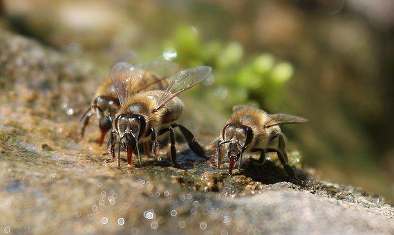Bees, Drink, Water, Nature, Macro, Thirst, Fountain