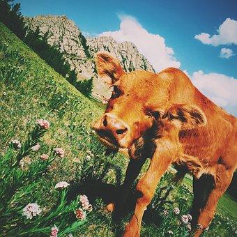Brown, Calf, Cattle, Cow, Animal, Mammal, Green, Grass