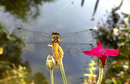 Ważka, Pond, Nature, Water, Lake, Shuvar, Insect