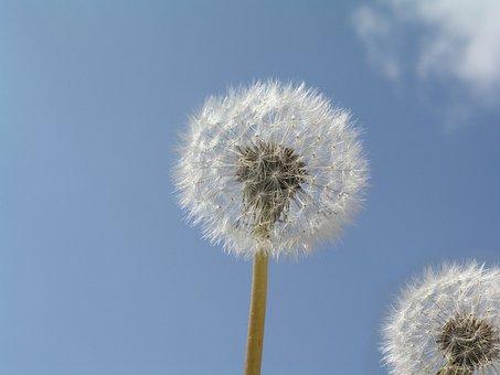 Dandilion, Plant, Weed, Seed Heads