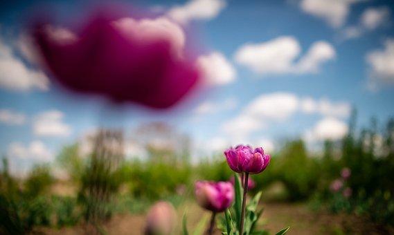 Violet, Purple, Flower, Nature, Plants, Garden, Farm