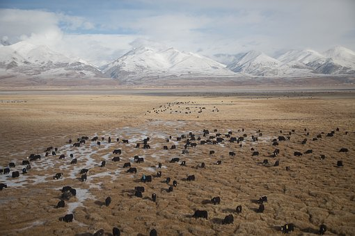 Mountain, Highland, Herd, Outdoor, Cow, Cattle, Calf