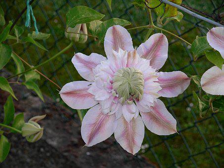Flower, Clematis, Renonculacée