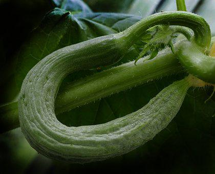 Cucumber, Snake Pickle, Crooked, Bent, Fruit Set