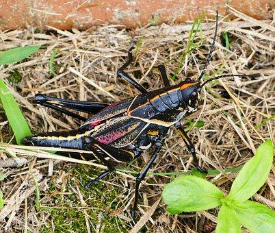 Grasshopper, Black, Nature, Insect, Animal, Wildlife