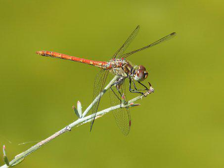 Red Dragonfly, Detail, Greenery, Winged Insect