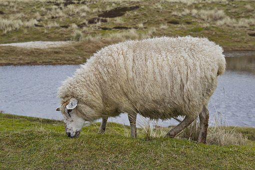 Sylt, Island, Sheep, Animal, Nature, Dunes, Coast