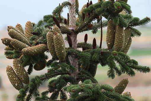 Cones, Male, Female, Sap, Needles, Tree, Plant, Green