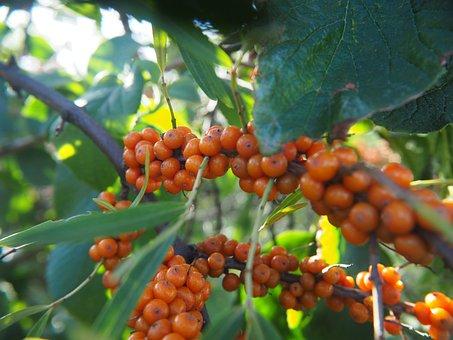 Berries, Fruit, Nature, Fruits, Orange Berry, Bush