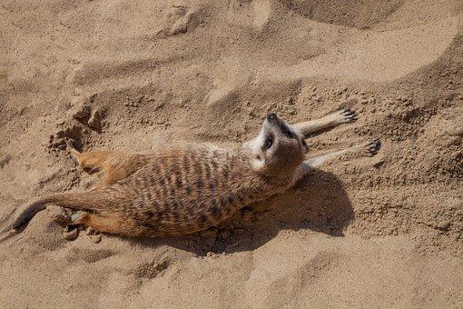 Meerkat, Sand, Animal, Brown, Sweet, Beige