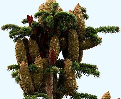 Cones, Male, Female, Tree, Fir, Sap, Spring, Plant