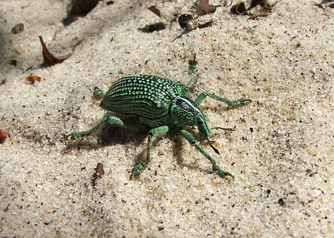 Beetle, Sand, Animal, Exotic, Tropical, Beach