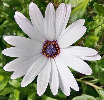 Cape Basket, Osteospermum, African, Daisy, Flower