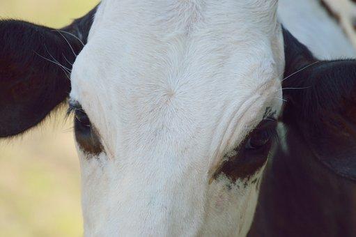 Mammal, Cow, Toro, Livestock, Animals, Animal, Field