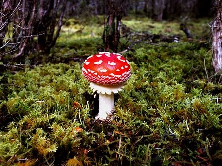 Toadstool, Forest, Wild, Nature, Fungus, Fungi