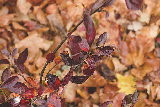 Red, Leaves, Branch, Closeup, Autumn, Macro, Nature