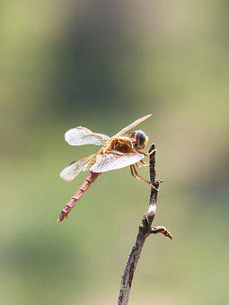 Red Dragonfly, Branch, Backlight, Winged Insect
