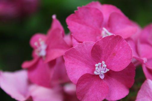 Hydrangea, Violet, Pink, Fushia, Flower