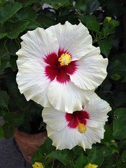 White Flower, Flower, Hibiscus, White Blossom, Nature