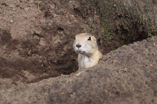 Prairie Dog, Rodent, Animal, Nager, Cute, Face