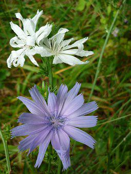 Flower, Chicory, Albino, White, Blossom, Bloom, Largest