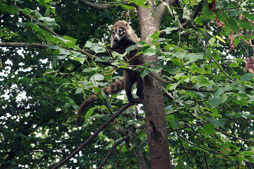 Coati, Small Bear, Climb, Climber, Tree, Proboscis Bear