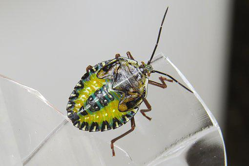 Nymph, Bug, Insect, Arthropod, Maria-stinky, Animal