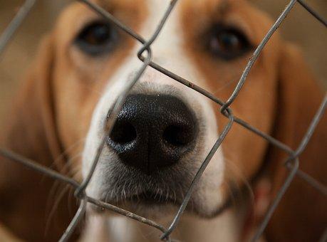 Dog, Beagle, Hunting Dog, Pack, Kennel