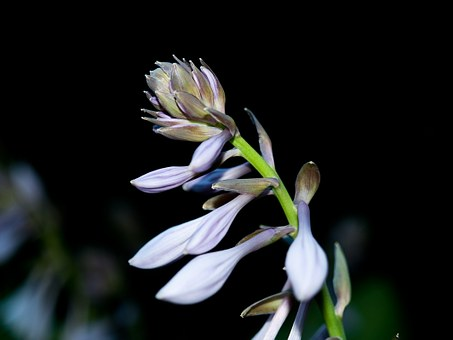 Plantain Lily, Blossom, Bloom, Hosta Plantaginea