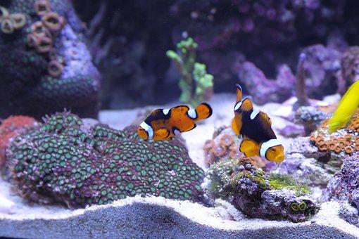 Fish, Anemone Fish, Corals, Fish Tank, Aquatic