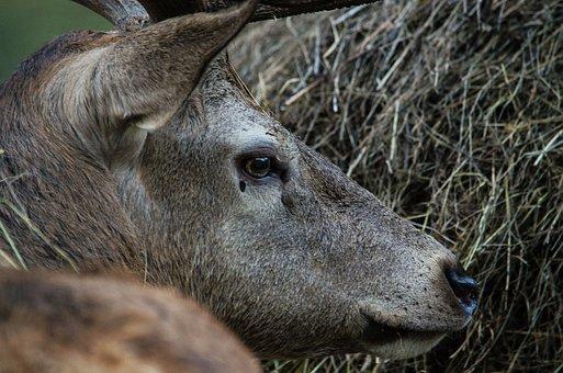 Hirsch, Fallow Deer, Deer Park, Wild, Wildlife Park