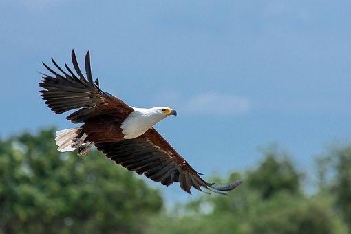 Haliaeetus Vocifer, African Fish Eagle, Adler