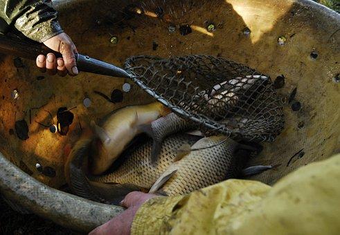 Hands, Keser, Raba, Fish, Vat, Harvesting