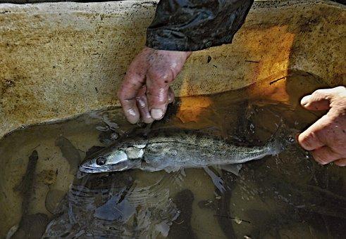 Fish, Zander, Vat, Water, Hands, Harvesting