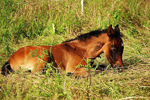 Horse, Foal, Thoroughbred Arabian, Brown Mold, Grass