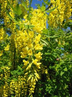 Laburnum Anagyroides, Pea Family, Close-up, Golden Rain